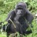 Uganda and Rwanda – Gorillas
